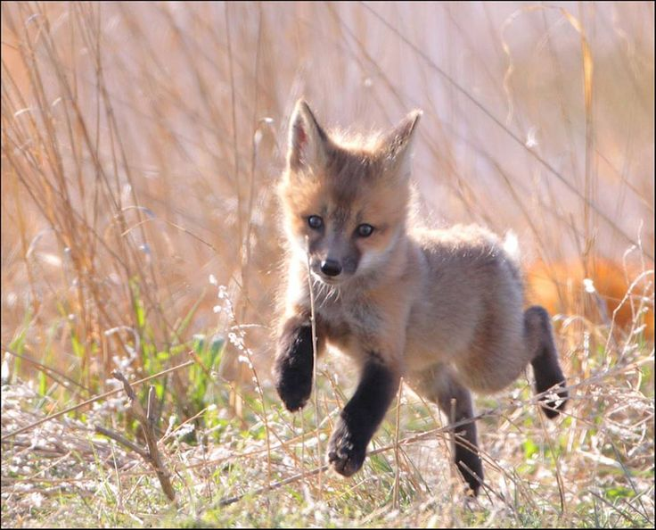 Red fox kits are born blind, deaf and toothless. After about a month they will be running and playing like this one!  Photo: Young fox courtesy of Pat Gaines/Creative Commons.