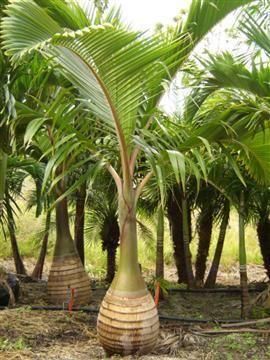 Bottle Palm | Hyophorbe Lagenicaulis | Palmco - Wholesale Palms, Florida