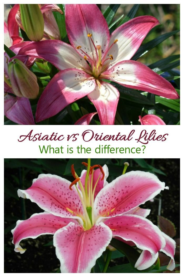 Asiatic And Oriental Lilies What Is The Difference Between Them