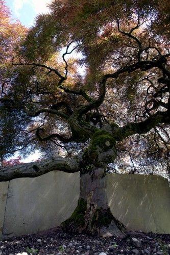 130 year old Acer palmatum at the Enea exhibit museum!