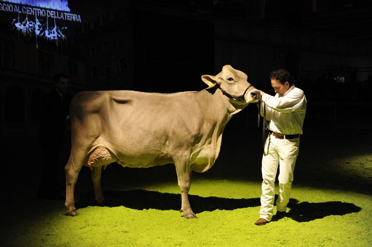 #fieragricolaevents #animalshows Swiss Brown Cow show (2012 edition)