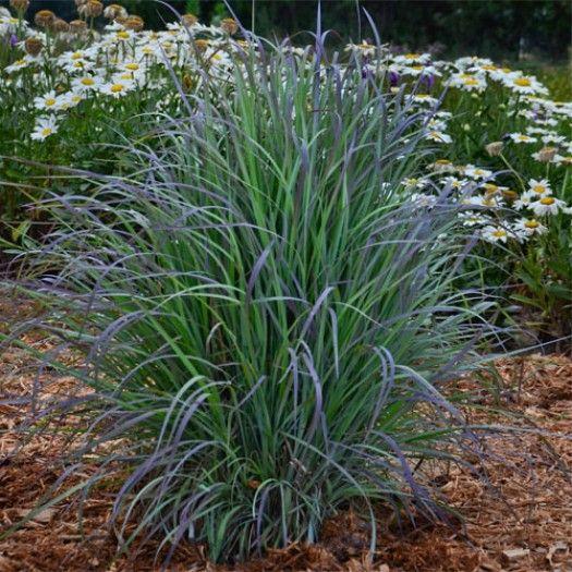 172 best grasses and sedges images on pinterest garden grass schizachyrium scoparium twilight zone new perennials perennials avant gardens nursery design workwithnaturefo