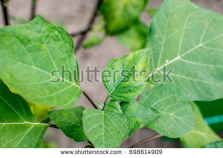 Medicinal Plant : Datura Metel known as Dhatura in India