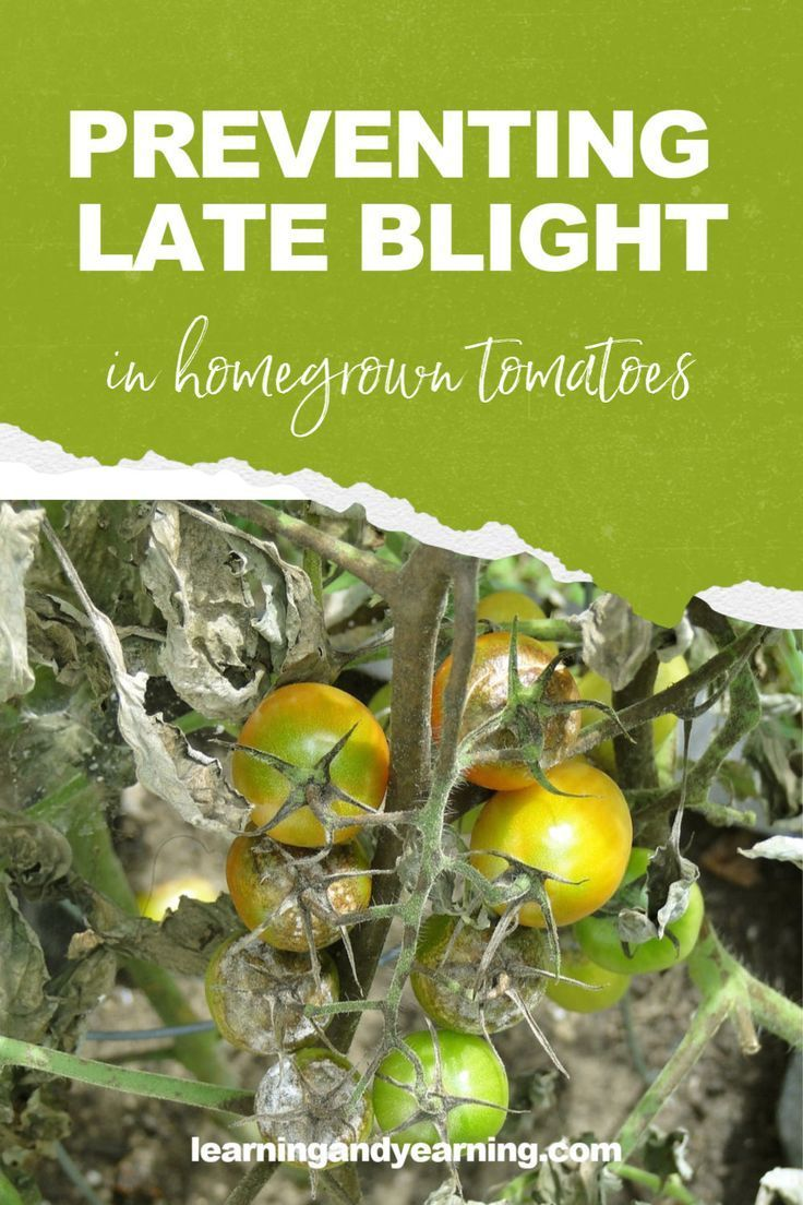 5413c33af19f89790903af46397be7af - How To Get Rid Of Late Blight On Tomatoes