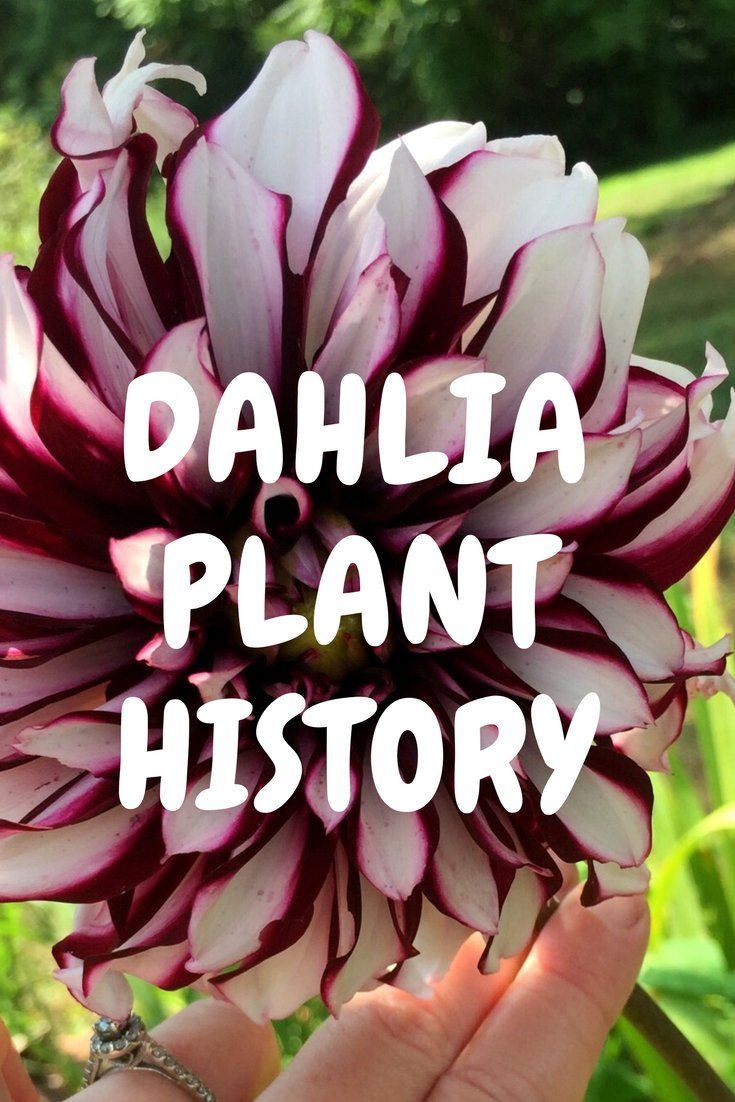 For Centuries Dahlias Have Been A Beloved Garden Plant Throughout Europe And North America With Over 50 0 Plants Organic Gardening Magazine Organic Gardening