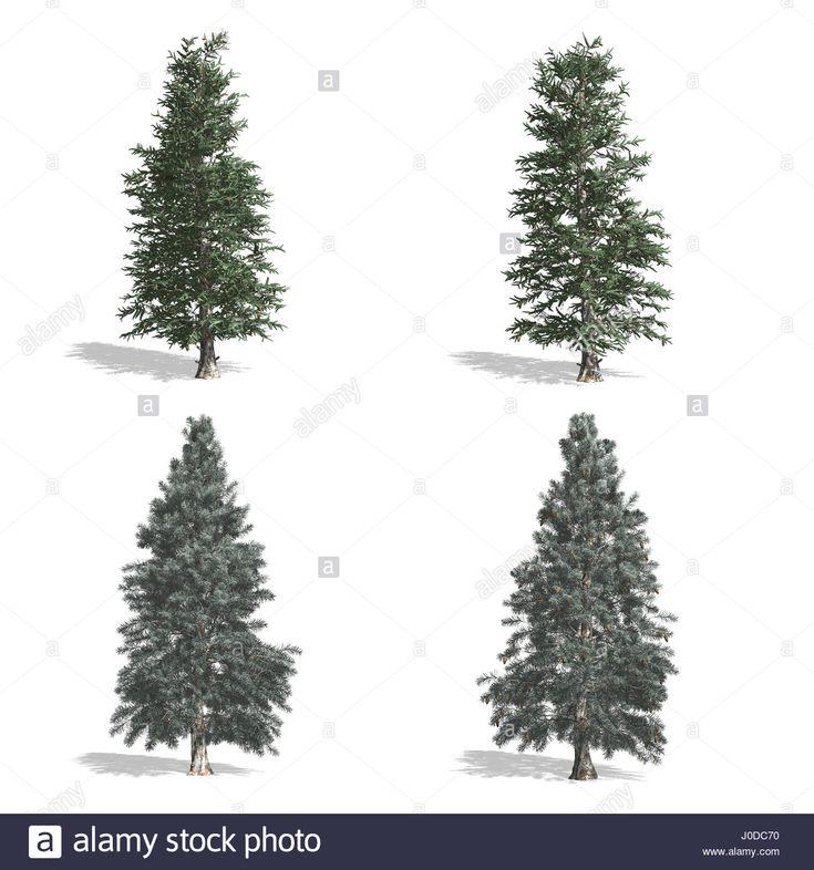 Luc fák, elszigetelt fehér háttérrel.  Stock fotó