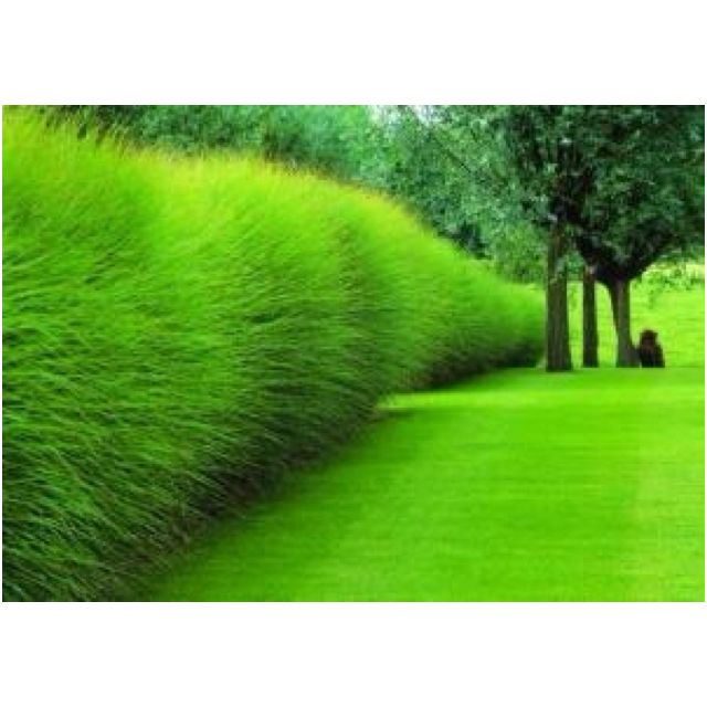 Tall grass plants for privacy shrub borders pinterest for Tall grass border