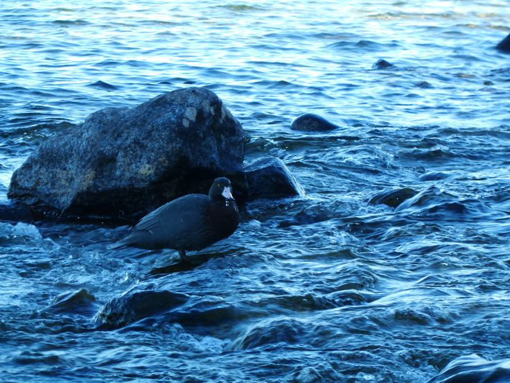 The team out at the Te Anau Glowworm caves were treated to a visit by a couple of native whio (or blue ducks) yesterday - it's awesome to see these rare birds out and about in Fiordland!