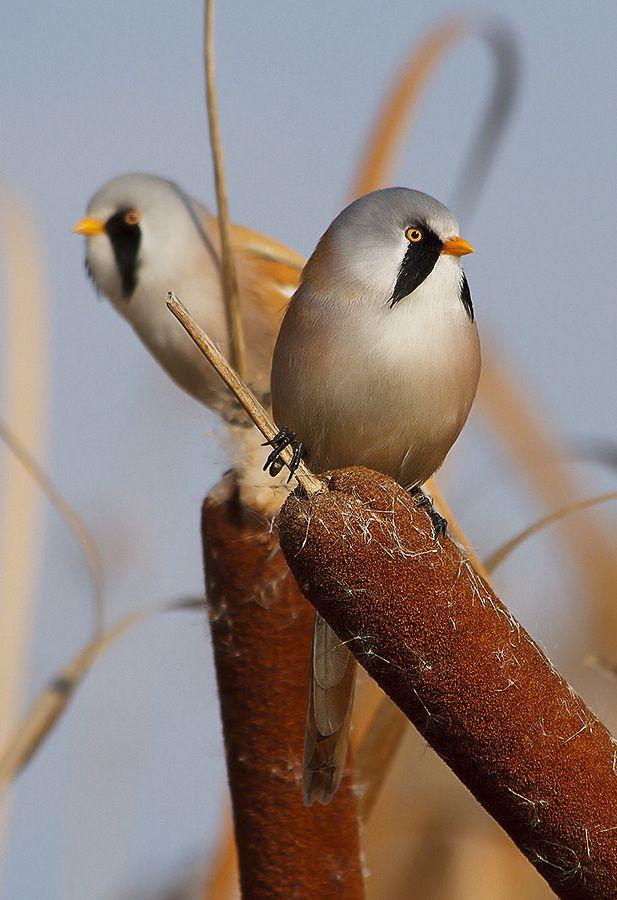 Bearded Tits birds.  Patrols by Kostya Pazyuk