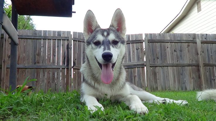 Best 25+ Husky puppies for sale ideas on Pinterest ...
