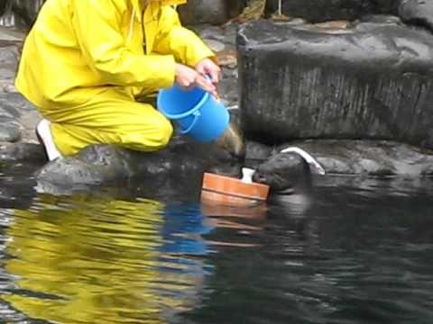 バイカルアザラシ(ビリー君)の ショー  箱根園水族館 Baikal seals