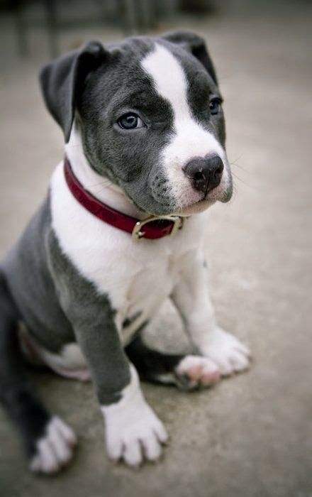 Pitbulls only come in second to the golden for the friendliest dog. Cute grey and white pitbull puppy