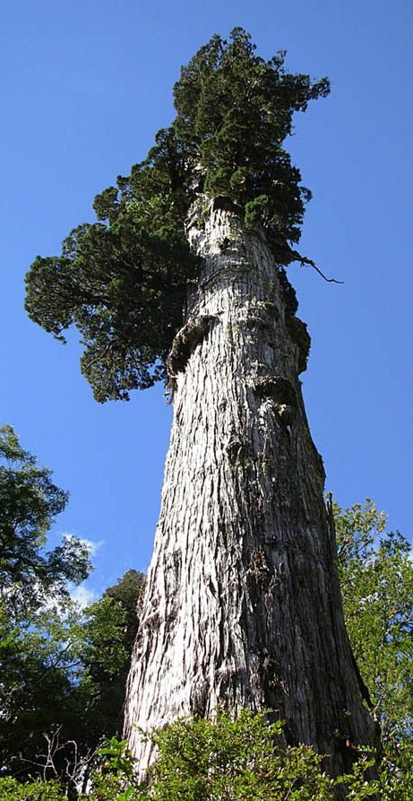 Patagonian cypress, 3,622 rings. Such amazing beauty  energy!