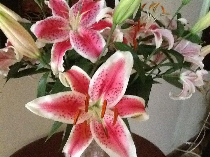 Pink Stargazer Oriental lilly