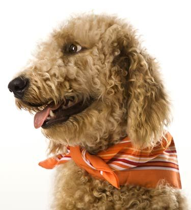 Goldendoodle Temperament and Behavior | Pet Research