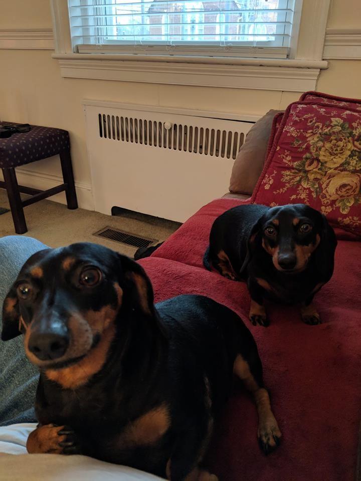 Weenie Dogs Sausage Dog Dachshund Love Dachshund Puppies
