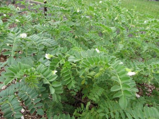 Нут, или турецкий горох, или бараний горох (Cicer arietinum)