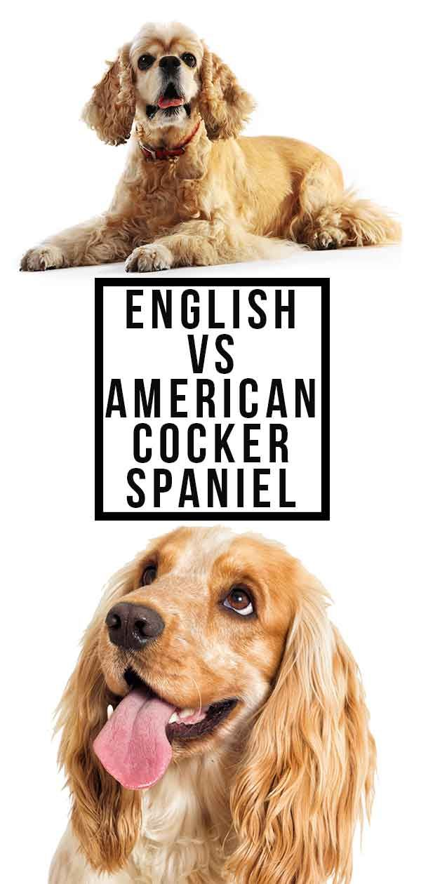 English Vs American Cocker Spaniel What S The Difference American Cocker Spaniel Cocker Spaniel English Cocker Spaniel Puppies