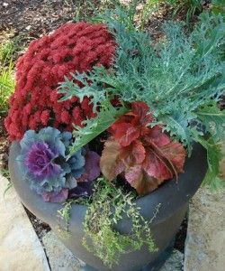 Fall planter idea.  Dark red mum, red copper leaf plant, green peacock kale and purple cabbage.