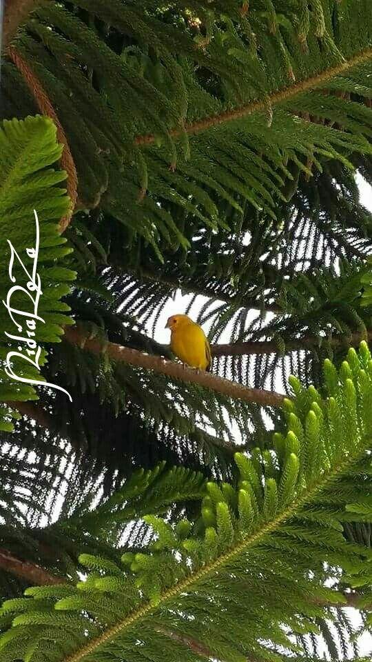 ... por el camino largo de un riachuelo,  viene volando un pajaro amarillo...