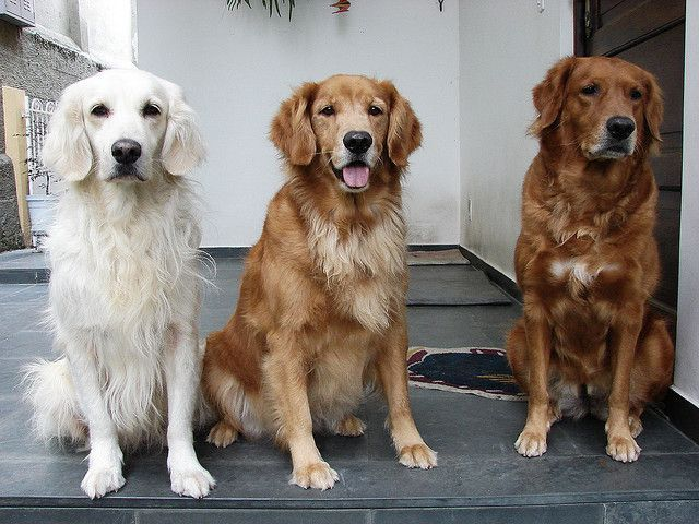 Different Retriever Shades Golden Color Love Want Each The
