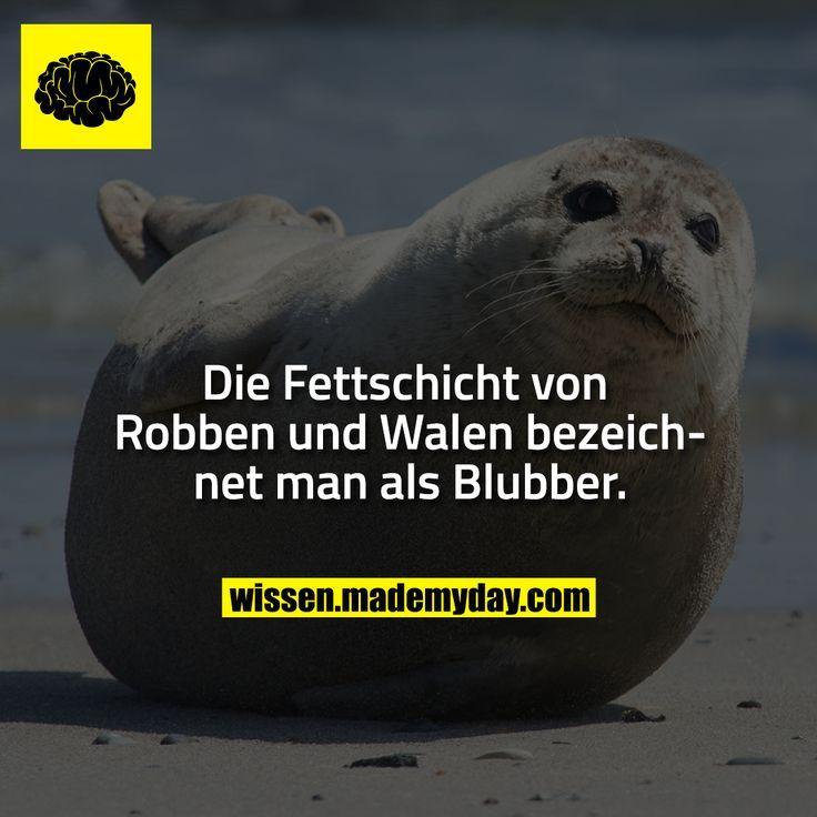 Die Fettschicht von Robben und Walen bezeichnet man als Blubber. – Martina Wirtz