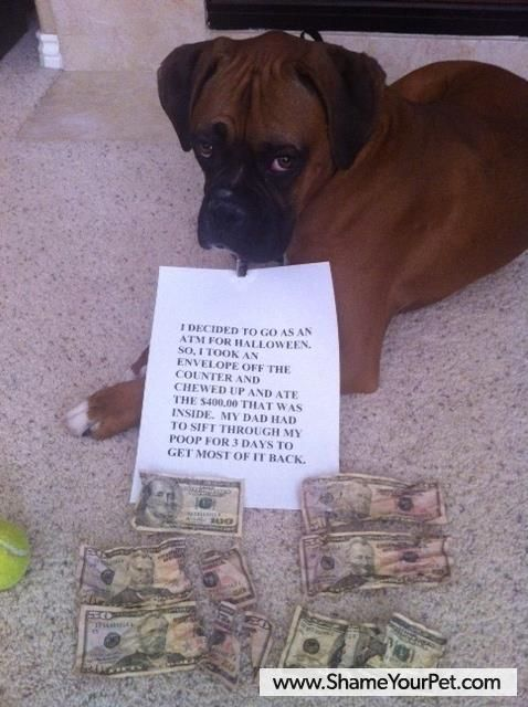 Boxer shamed for eating $400 dollars...... just too funny and irritating all at once......LOL.... :), such a cute lovable face.... // KaufmannsPuppyTraining.com // Kaufmann's Puppy Training // dog training // dog love // puppy love //