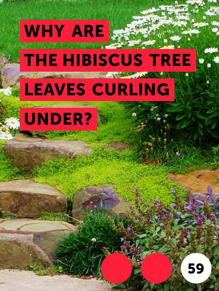 Why Are The Hibiscus Tree Leaves Curling Under Hibiscus Are Paper