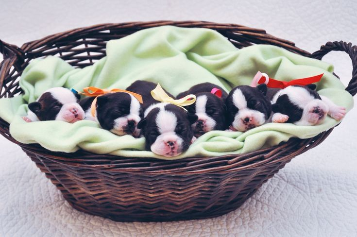 A basket full of LOVE!  Boston Terrier Puppies