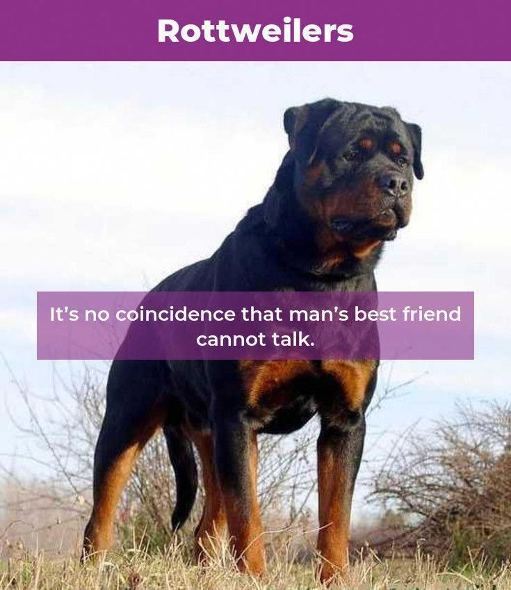 Things We All Love About The Calm Rottweiler Puppy Rottweilerpage