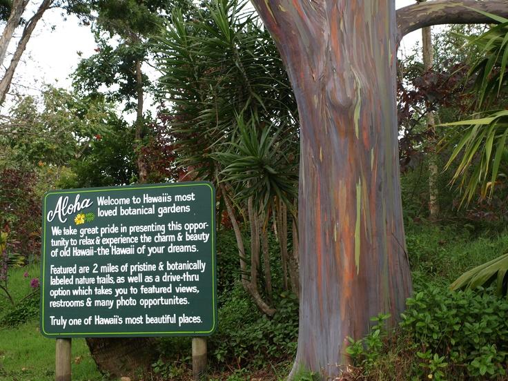 Rainbow Eucalyptus Tree- Maui, Hawaii.
