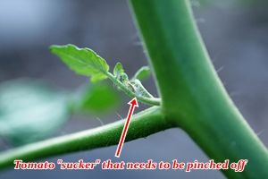 Helpful because I don't seem to ever get it right & I end up with a jungle. -kss How To Prune Tomato Plants | Veggie Gardener