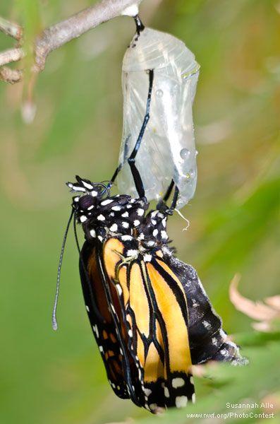 Monarch butterfly body - photo#46