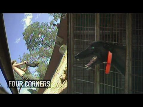 ABC tv program Four Corners has exposed the greyhound racing industry's use of live animals as bait in their training.