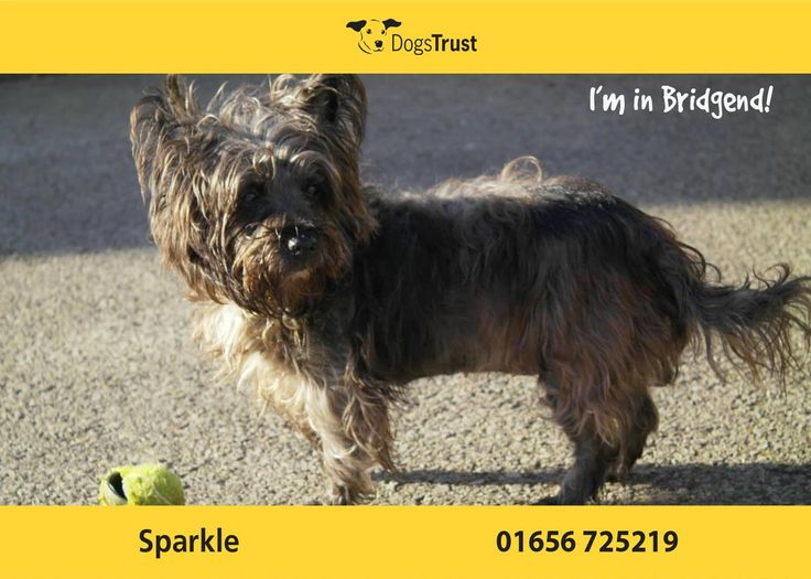 Sparkle at Dogs Trust Bridgend is 13 years young. She is a strong minded little dog, full of character. She does like her home comforts and loves her bed and toys. She is still very active and loves her walks. She is sensitive being handled and can be reactive if worried, so she will need careful handling.  Sparkle needs to be the only dog in the home, as she doesn't socialise well with other dogs.