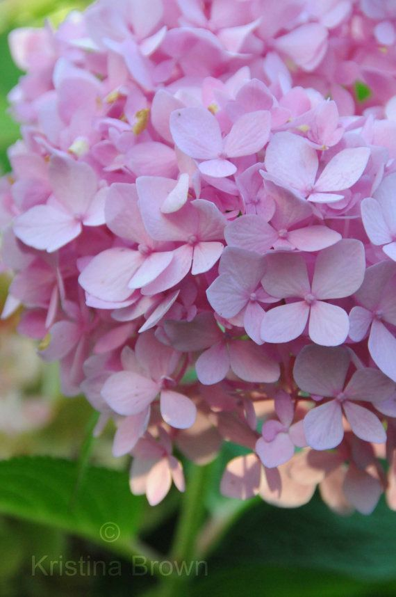 Nature Photography Hydrangea Flower Photo Lavender Flower Photograph by SilverBirdBoutique