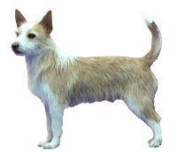 https://www.akc.org/breeds/portuguese_podengo_pequeno/index.cfm