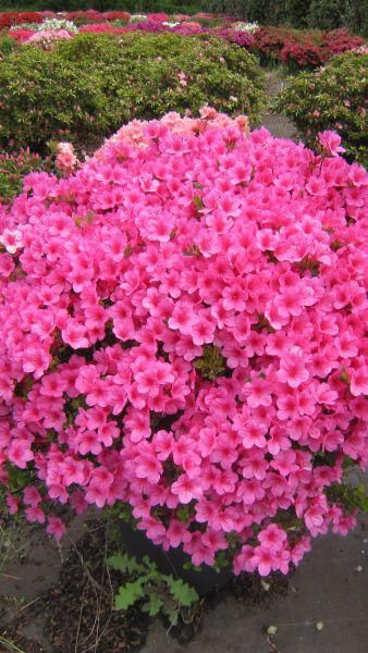 Azalea Japonica Baggio - evergreen, low growing spreading shrub with glossy leaves and deep pink flowers in late spring or early summer