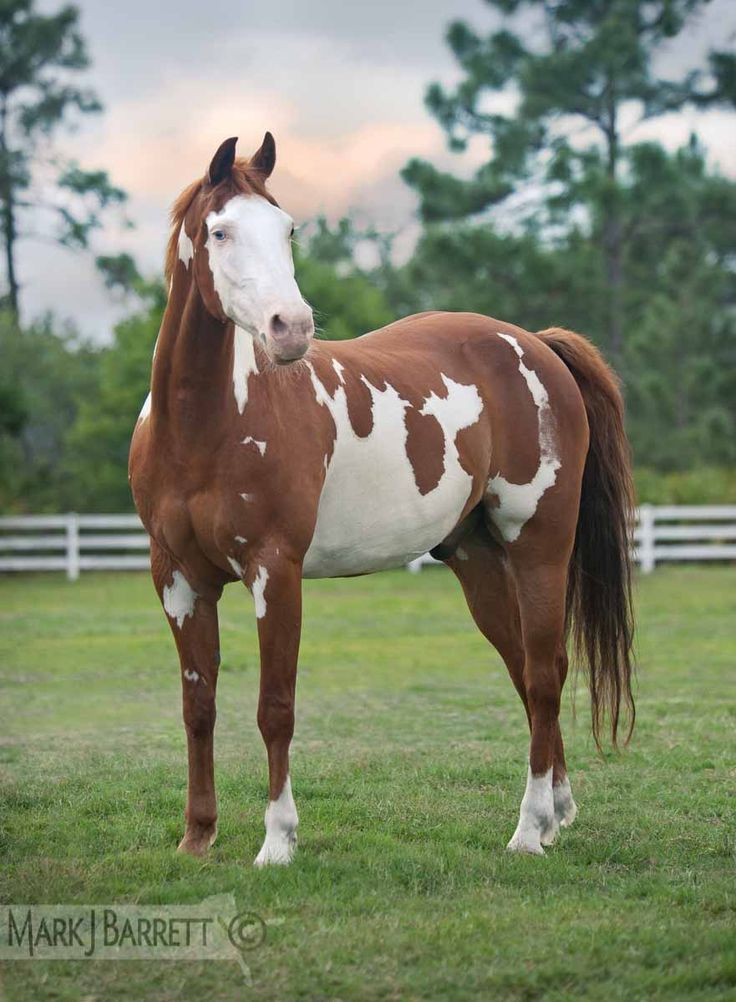 Chestnut Pinto horse :: American Paint Horse stallion