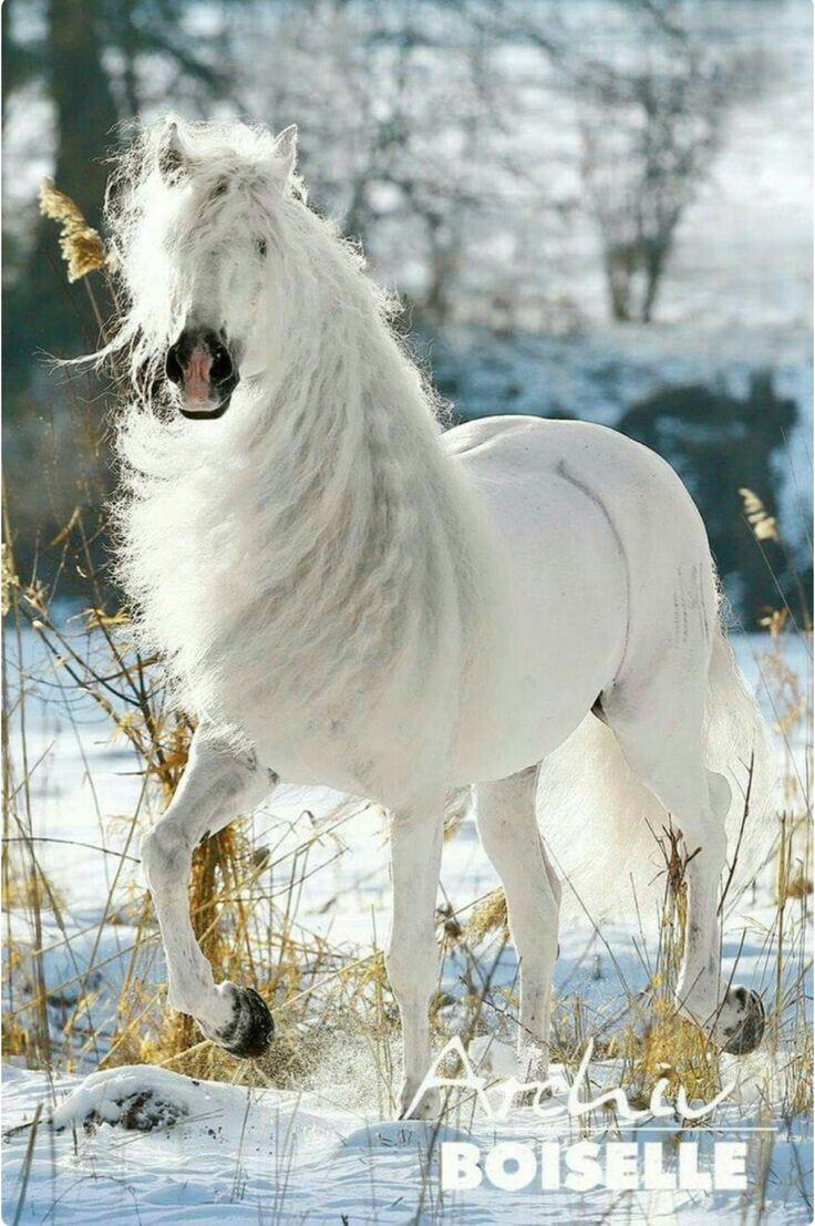 Schönes grau-weißes andalusisches Pferd mit fließender Mähne und Geschichte. (Gabriele Boiselle)