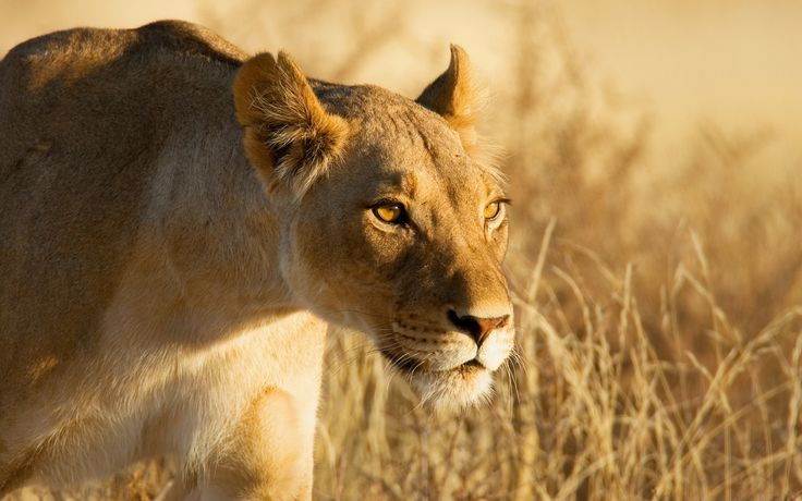 The female lions hunt and provide food for the group, while the male is only responsible with defending the pack.