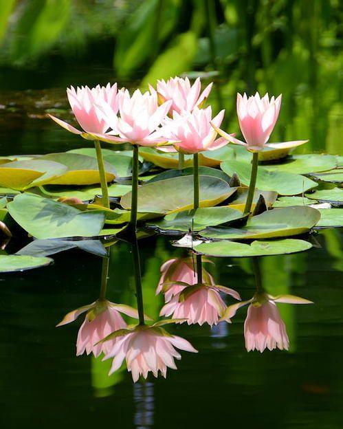 Water Lilies #Lotus