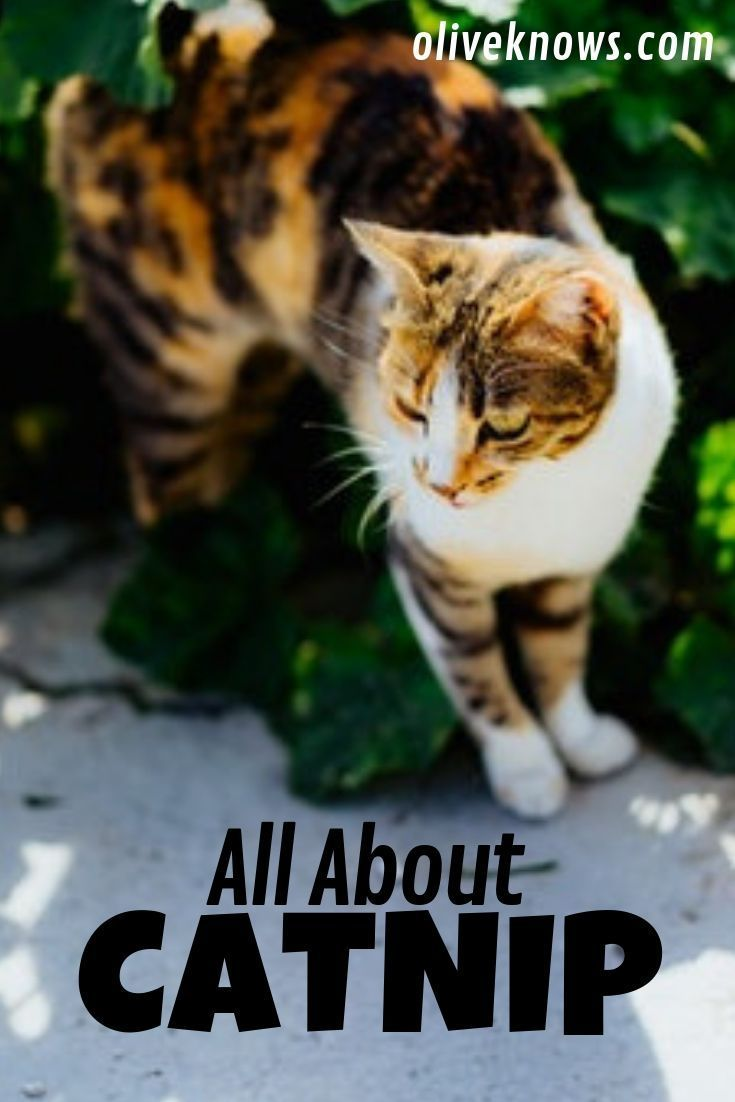 All About Catnip Cat Care Cat Safety Sick Cat