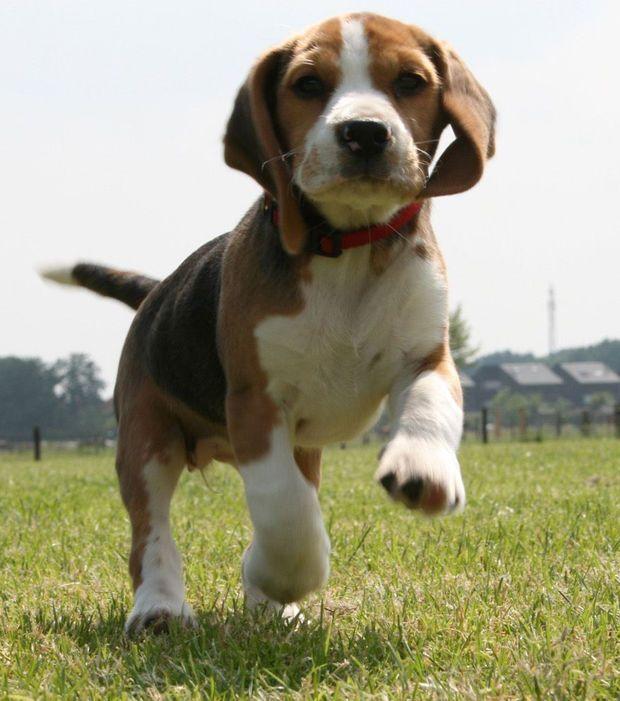 Cani Dogs Beagle Beagle Puppy Beagle Dog Beagle