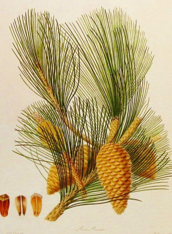 Vintage Pine Cone Art, Flower Print (19th Century Pine Cone Decor, Pine Needle Art Book Plate No. 97)