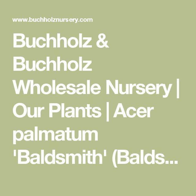 Buchholz & Buchholz Wholesale Nursery | Our Plants | Acer palmatum 'Baldsmith' (Baldsmith Japanese Maple)