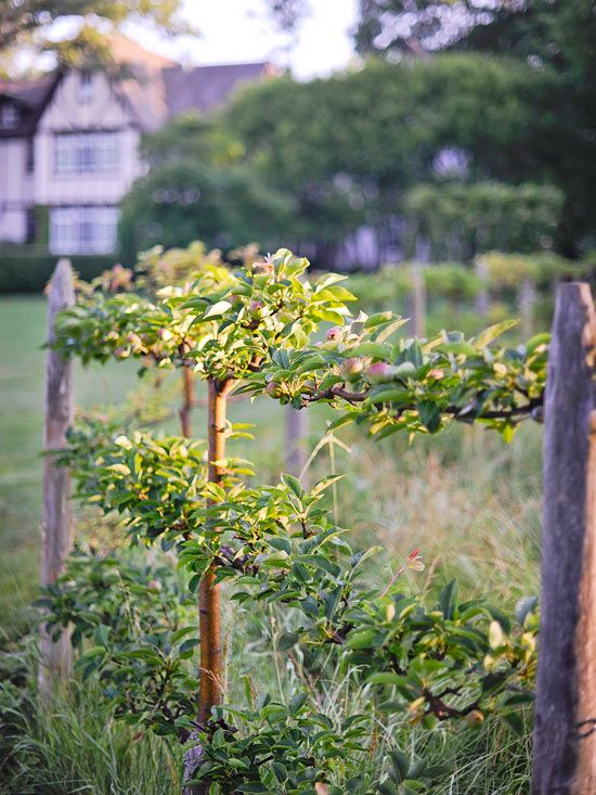 Espalier Fruit Trees...Gala Apple and Lapin Cherry