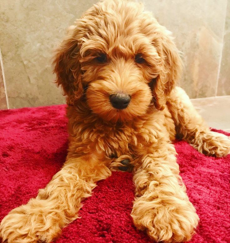 Wix Pro Gallery (With images) Dog breeder, Labradoodle