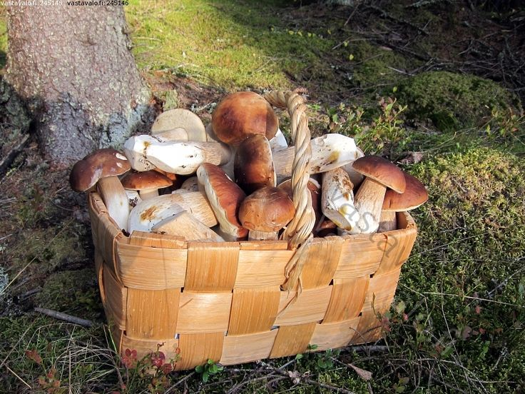 Finland is a mushroom picker's paradise.