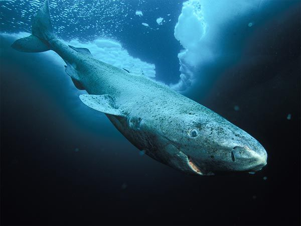 A greenland shark in Nunavut, Canada (file picture).    Photograph by Paul Nicklen, National Geographic